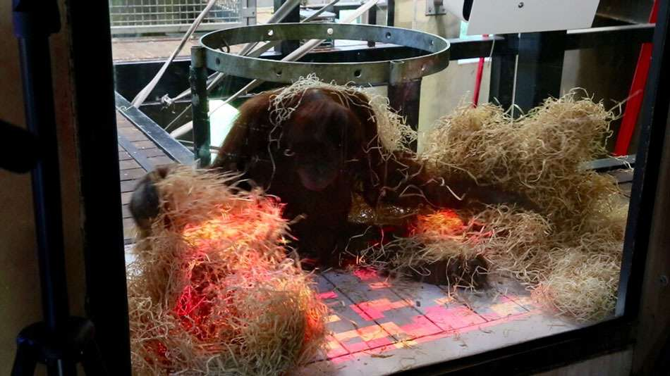 xbox2 Orangutans Using Xbox Kinect In New Zoo Based Research Project