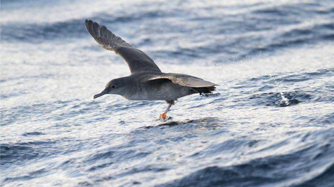 88731169 balearicgeo joepender One Of The Worlds Rarest Birds Is On The Brink Of Extinction