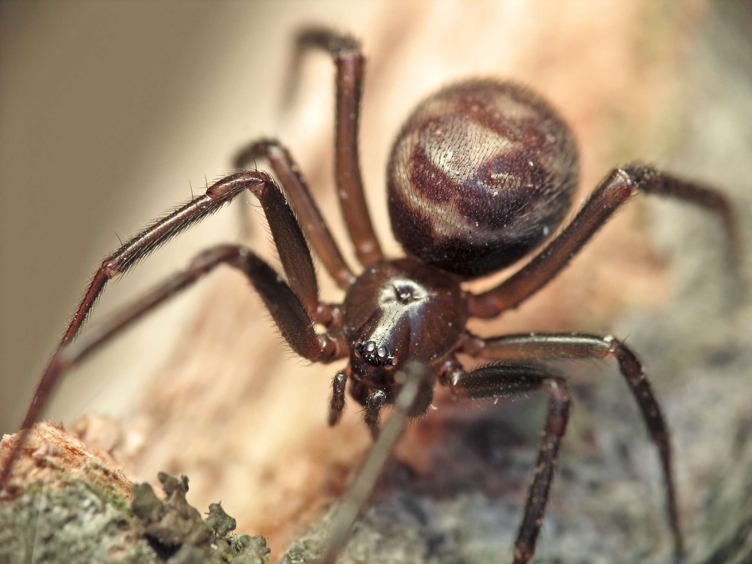 Cobweb spider frontal mze Newly Discovered Spider Can Swim, Eat Fish And Is Called Brian