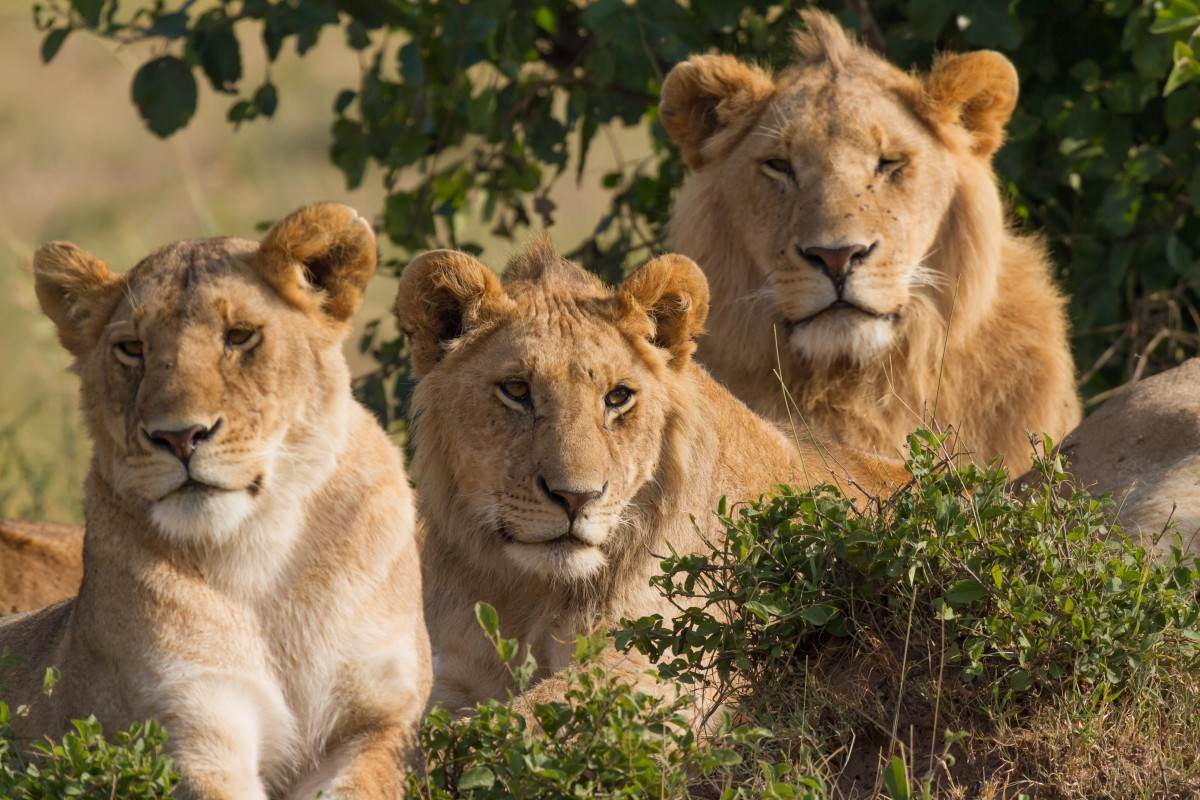 Prophet Attempts Lion Miracle, Ends Exactly How Youd Expect Lions Family Portrait Masai Mara 1200x800