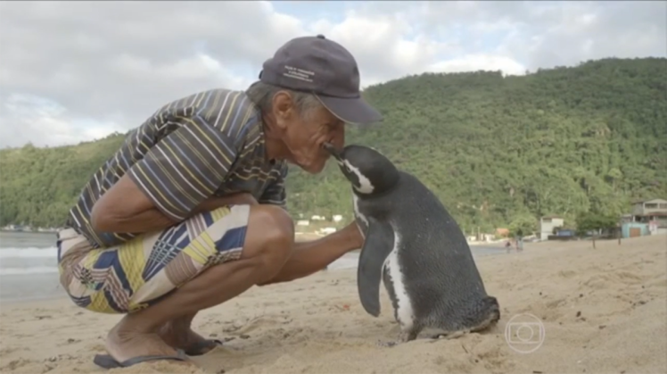 ad199230264a penguin called Loyal Penguin Swims Thousands Of Miles Every Year To Visit His Rescuer