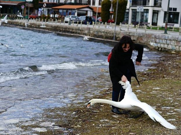 aja Woman Kills Swan By Dragging It From Lake For Selfie