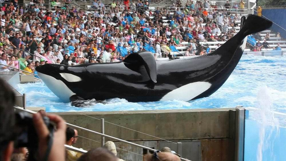 blackfish Heres What Will Happen To SeaWorlds Last Generation Of Killer Whales