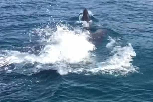whale2 Video Captures Incredibly Rare Moment Whale Gives Birth