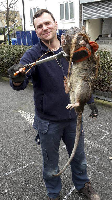 kk NOPE: Another Giant Super Rat Was Just Found In The UK