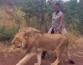 Woman Goes For Casual Stroll With Lion To Give Him Important Message lion2