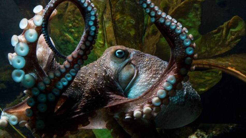 octopus The Story Of This Octopuss Real Life Great Escape Is Incredible