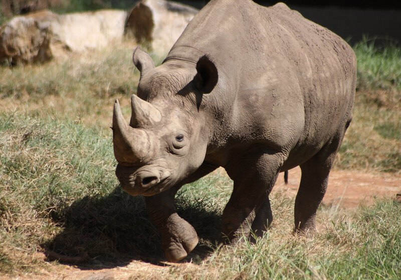rhino1 Theres An Amazing New Plan To Save Rhinos From Extinction