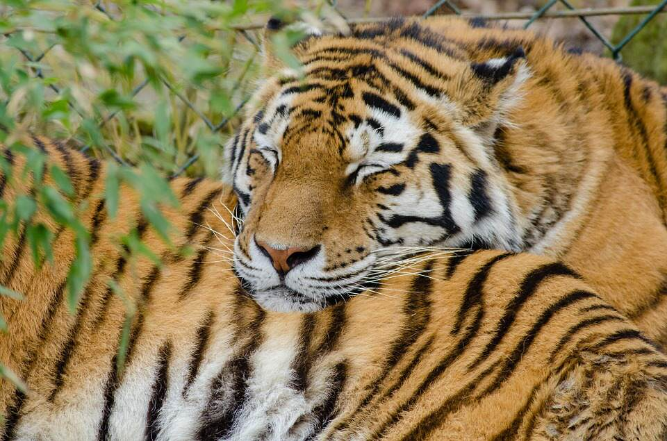 tiger5 There Could Finally Be Some Good News For Endangered Tigers