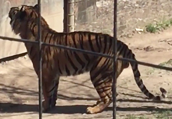 tigerweb2 Footage Shows Absolute Idiot Jump Tiger Fence At Zoo To Get Her Hat