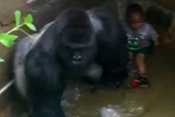 New Footage Suggests Gorilla Was Trying To Protect Boy VID Harambe a male silverback gorilla at Cincinnati Zoo 1