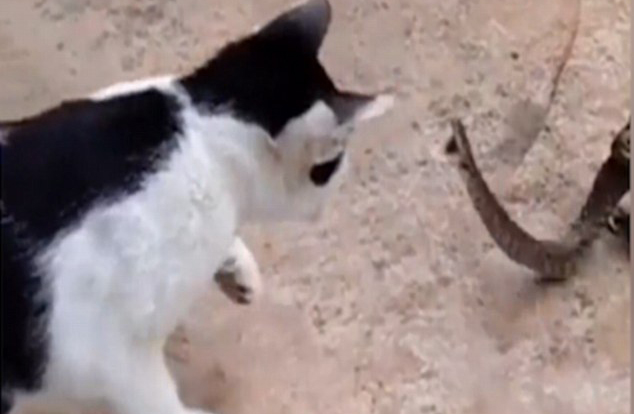 catsnake2 Bizarre Footage Shows Cat Fight Snake That Is Being Eaten Alive By Toad