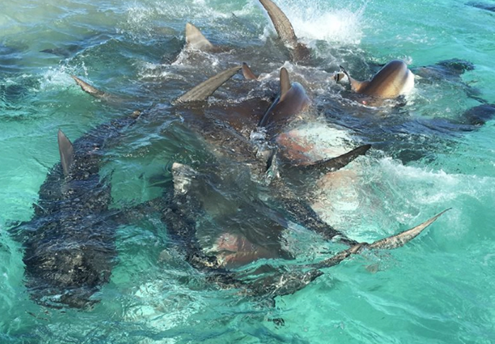 shark1 Drone Captures Incredible Footage Of Massive Tiger Shark Feeding Frenzy
