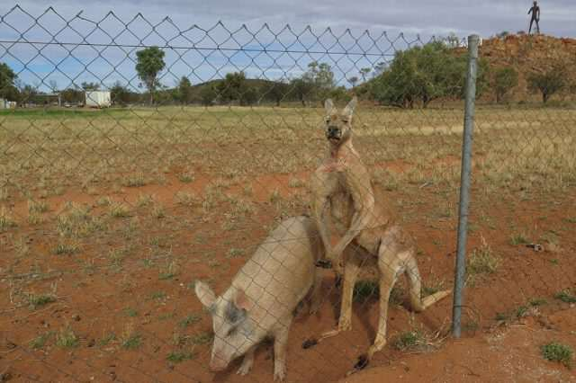 351C6C3000000578 3634548  I tried to take the pig away the other day and the kangaroo alm a 7 1465528466458 640x426 Can You Guess Which Of These Animals Are Having An Intense Sexual Relationship?