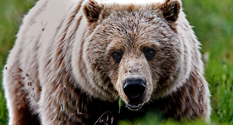 bear face Cyclist Attacked And Killed At Work By Bear