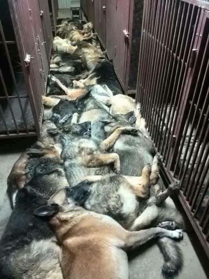 dogs1 Horrific Photos Show Slaughter Of Dozens Of Sniffer Dogs