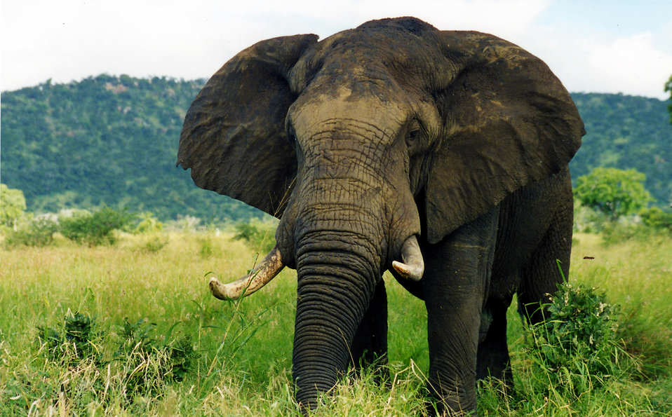 elephant in the wild pv free stock photo Obama Might Have Just Saved Elephants From Extinction