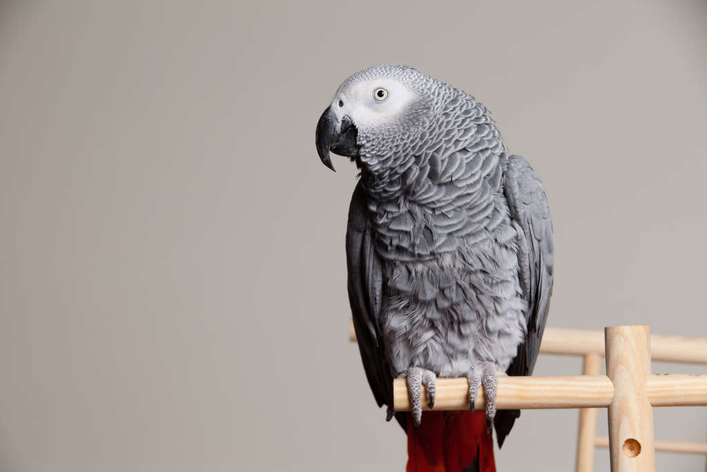 8453530769 9bab22d205 b Parrot Who Saw Murder Could Be Actual Witness In Court