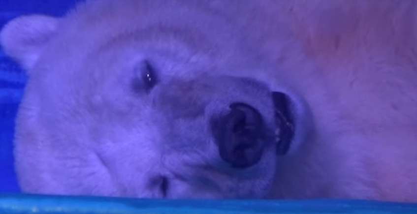 Screen Shot 2016 07 11 at 09.50.14 Shopping Centre Traps Polar Bear So People Can Take Selfies With It