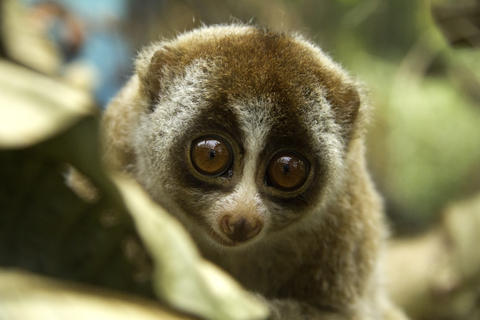 loris1 These Animals Like Getting Drunk As Much As Humans Do