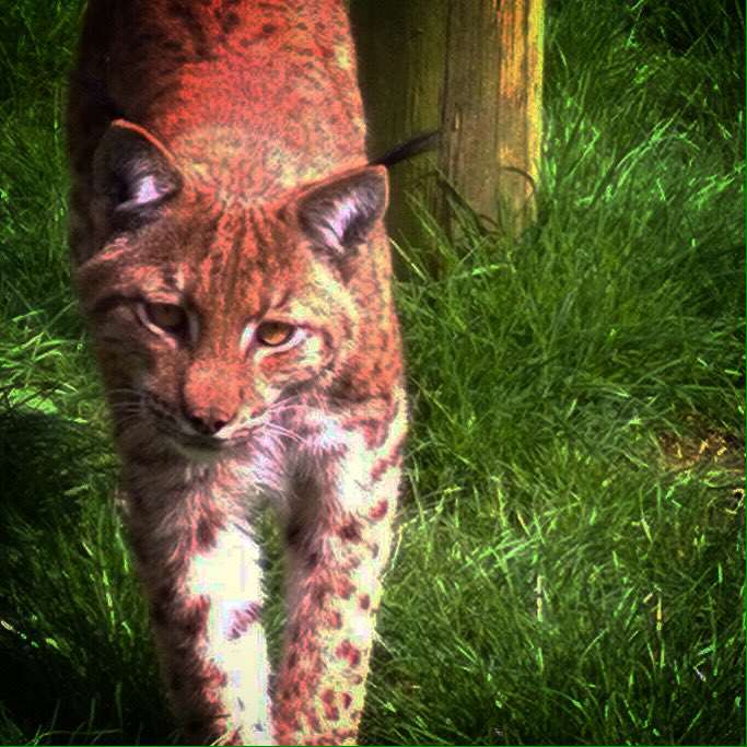 Runaway Lynx Fools Zookeepers With Second Daring Escape lynx1