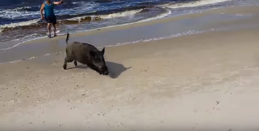 vid 2 5 Boar Emerges From The Sea, Unleashes Fury On Beachgoers