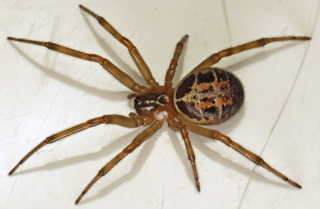 As False Widow Spiders Spread, Heres How To Spot One And Treat Bite 18476684753 f5bcf0c8fb b