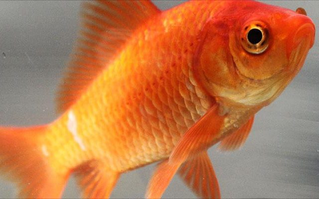 Common goldfish 640x400 Australia Is Being Invaded   By F*cking Massive Goldfish