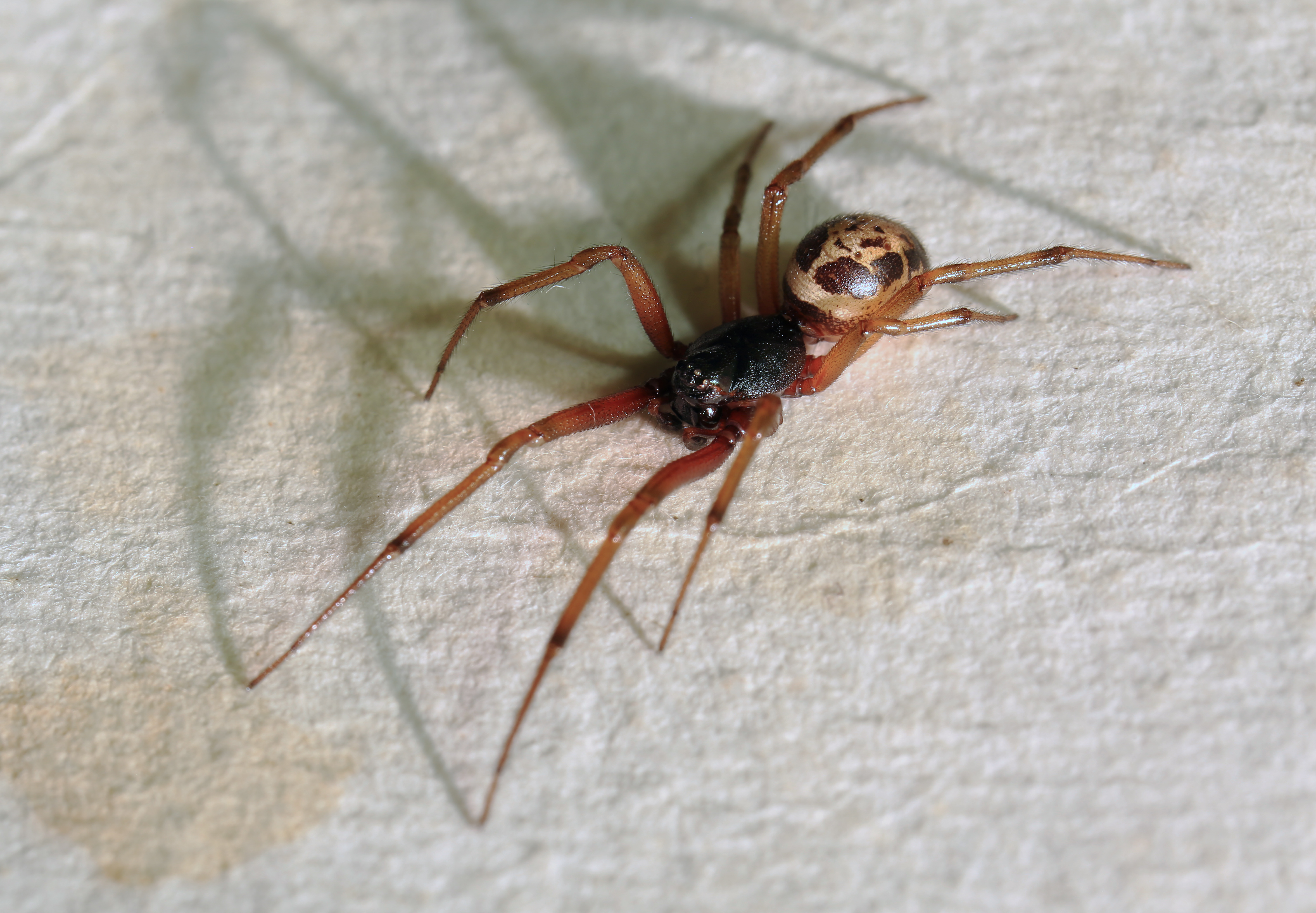 As False Widow Spiders Spread Here 39 S How To Spot One And