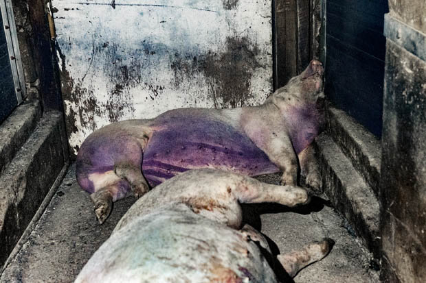 Shocking Video Shows Horrific Conditions At UK Pig Farm pigs2