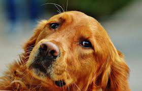 retriever2 Guy Tries To Comfort Girlfriend After Her Dog Dies, F*cks Up Massively