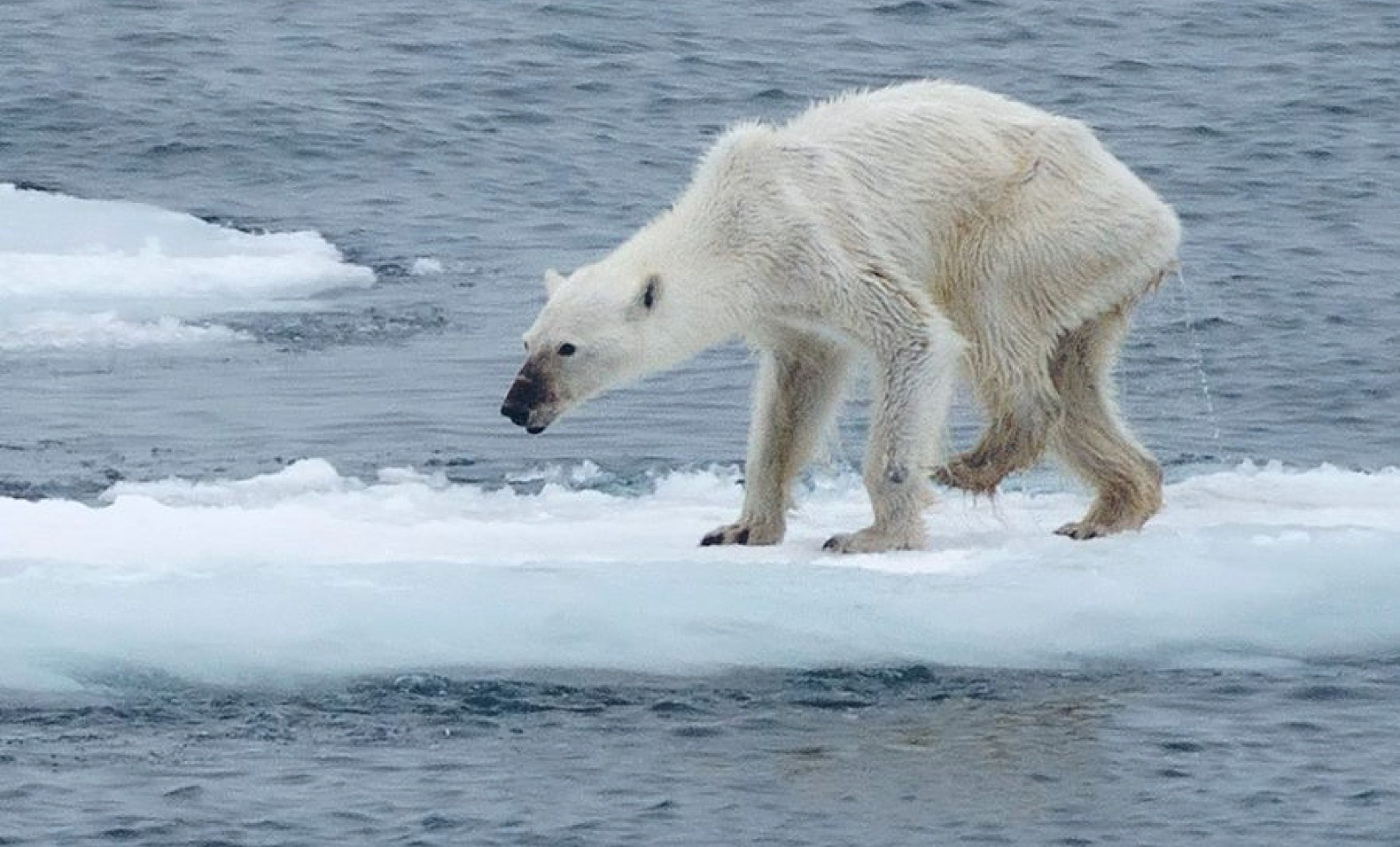 polar bear tragedy svalbard norway 1 Worlds Two Biggest Polluters Join Historic Climate Change Deal