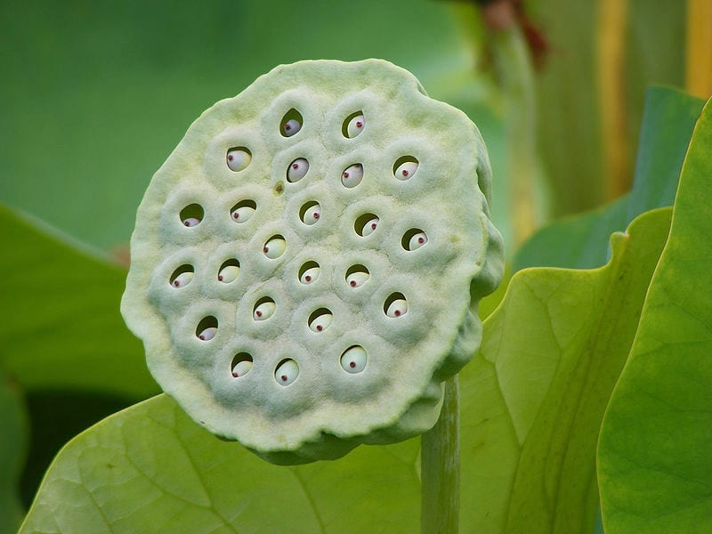 19245UNILAD imageoptim trypophobia lotus Trypophobia Is The Terrifying Phobia You Didnt Know You Had