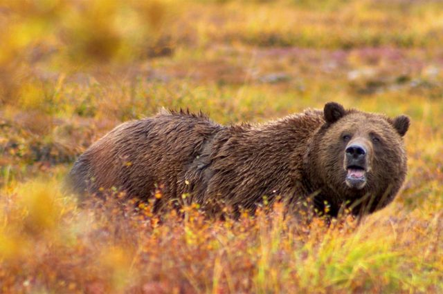 Guy Posts Brutal Video After Getting Attacked Twice By Bear wsi imageoptim Grizzly Denali Crop 640x426