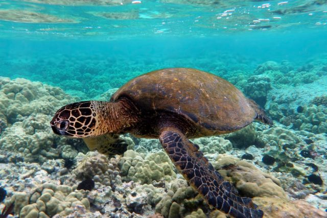 17462UNILAD imageoptim Green turtle swimming over coral reefs in Kona 640x426 Complete Idiots Slammed By RSPCA After Surfing On Top Of Turtle