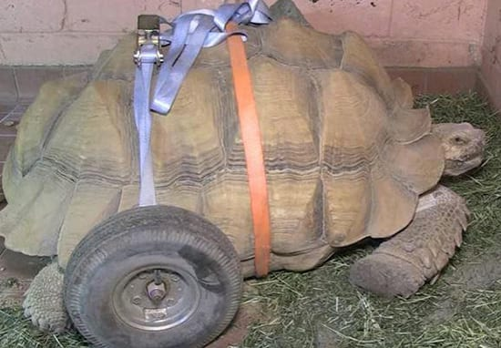 Tortoise Given Wheels After Injuring Himself In Sex Session