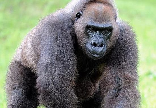 Harambe's Grandmother Euthenized By Miami Zoo, Internet Goes Apesh*t