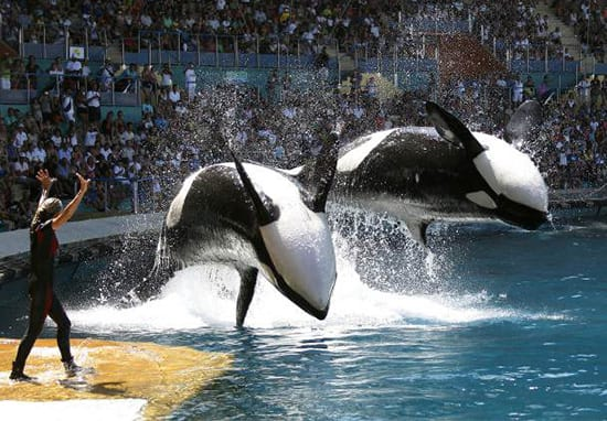 SeaWorld May Have Lied About Ending Killer Whale Shows