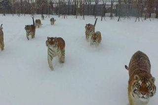 There's A Sinister Truth Behind The Viral Video Of Tigers Attacking A Drone