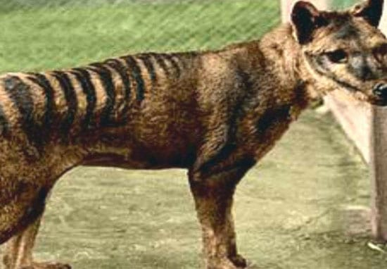 Tasmanian Tiger Spotted In The Wild Despite Being Extinct For 80 Years